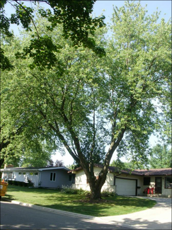 Silver Maple Pruning After