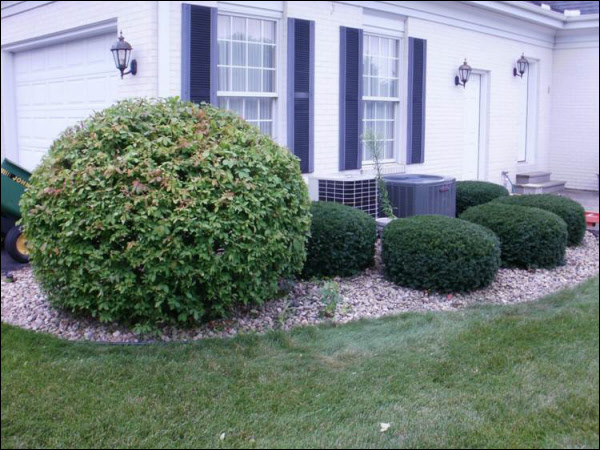Shrub Pruning of Yews - After
